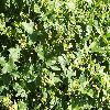 BryoniaAlba.jpg 1200 x 900 px 341.03 kB