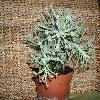 BryophyllumDelagoense.jpg 1024 x 768 px 227.57 kB