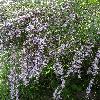 BuddlejaAlternifolia2.jpg 681 x 908 px 504.2 kB