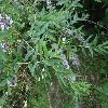 BuddlejaAlternifolia4.jpg 1024 x 768 px 179.66 kB