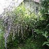 BuddlejaAlternifolia.jpg 1024 x 768 px 307.9 kB