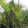 ButiaCapitata4.jpg 681 x 908 px 448.16 kB