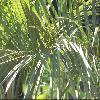 ButiaCapitata5.jpg 720 x 540 px 113.13 kB
