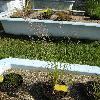 CalamagrostisCanescens.jpg 681 x 908 px 211.49 kB