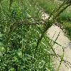 CalamagrostisEpigeios3.jpg 1127 x 845 px 212.21 kB