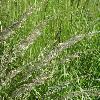 CalamagrostisEpigeios4.jpg 1127 x 845 px 246 kB