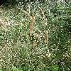 CalamagrostisEpigeios5.jpg 615 x 820 px 218.64 kB
