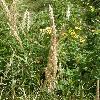 CalamagrostisEpigeios6.jpg 615 x 820 px 149.26 kB