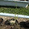 CalamagrostisEpigeios8.jpg 681 x 908 px 236.62 kB