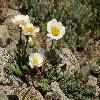 CallianthemumAlatavicum.jpg 1200 x 900 px 528.81 kB