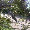 CallistemonMontanus.jpg 678 x 908 px 338.96 kB