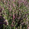 CallunaVulgarisCWNix.jpg 1024 x 768 px 318.12 kB