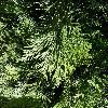 CalocedrusDecurrens5.jpg 1127 x 845 px 302.81 kB