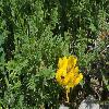 CalophacaTianschanica.jpg 1200 x 800 px 553.78 kB