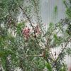 CalothamnusRupestris3.jpg 1024 x 768 px 255.18 kB