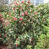 Camellia11.jpg 1127 x 845 px 316.19 kB