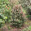 Camellia12.jpg 1127 x 845 px 326.91 kB