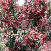 Camellia13.jpg 1118 x 838 px 317.95 kB
