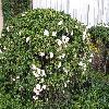 Camellia14.jpg 1086 x 815 px 278.56 kB