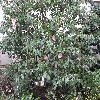 Camellia15.jpg 1127 x 845 px 294.42 kB