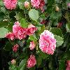 Camellia16.jpg 1109 x 832 px 177.67 kB