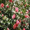 Camellia19.jpg 1120 x 840 px 213.57 kB