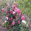 Camellia21.jpg 1120 x 840 px 241.43 kB
