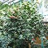 Camellia4.jpg 576 x 768 px 174.59 kB