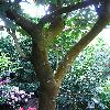 Camellia5.jpg 576 x 768 px 148.24 kB