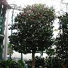 Camellia6.jpg 576 x 768 px 140.92 kB