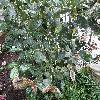 CamelliaChrysantha.jpg 1110 x 833 px 304.15 kB