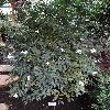 CamelliaCuspidata.jpg 681 x 908 px 442.43 kB