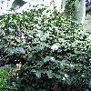 CamelliaJaponicaMathotianaAlba.jpg 576 x 768 px 169.06 kB