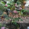 CamelliaJaponicaSacco.jpg 681 x 908 px 404.94 kB