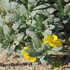 CamissoniopsisCheiranthifolia3.jpg 900 x 1200 px 546.61 kB
