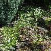 CampanulaCochleariifoliaAlba.jpg 720 x 960 px 568.44 kB
