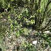CaraganaArborescens2.jpg 1127 x 845 px 325.56 kB