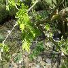 CaraganaArborescens3.jpg 1127 x 845 px 161.64 kB