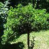 CaraganaArborescens4.jpg 1024 x 768 px 357.67 kB