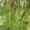 CaraganaArborescensLorberrgii2.jpg 576 x 768 px 149.28 kB