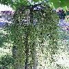 CaraganaArborescensLorberrgii.jpg 576 x 768 px 191.08 kB