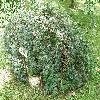 CaraganaArborescensPendula.jpg 1127 x 845 px 376.56 kB
