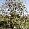 CaraganaArborescens.jpg 1127 x 845 px 377.05 kB