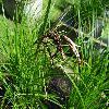 CarexAcuta2.jpg 1167 x 875 px 255.35 kB