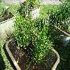 CarexAcuta.jpg 1167 x 875 px 403.27 kB