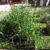 CarexAcutiformis.jpg 681 x 908 px 283.99 kB