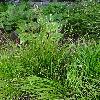 CarexAlba.jpg 681 x 908 px 459.05 kB