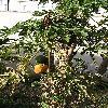 CaricaPapaya12.jpg 722 x 963 px 487.54 kB