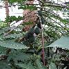 CaricaPapaya8.jpg 642 x 856 px 187.05 kB