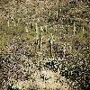 CarnegieaGigantea7.jpg 1201 x 804 px 417.65 kB